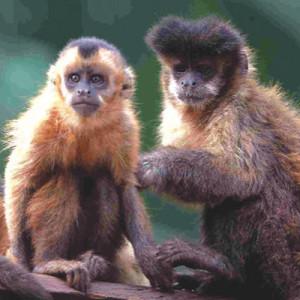 macaco_prego_g